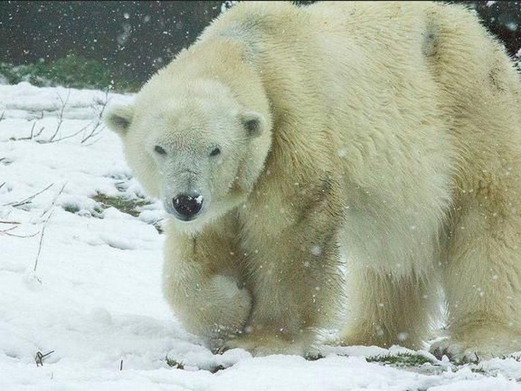 Perubahan Iklim, Cuma Beruang Kutub Tergemuk Bisa Bertahan