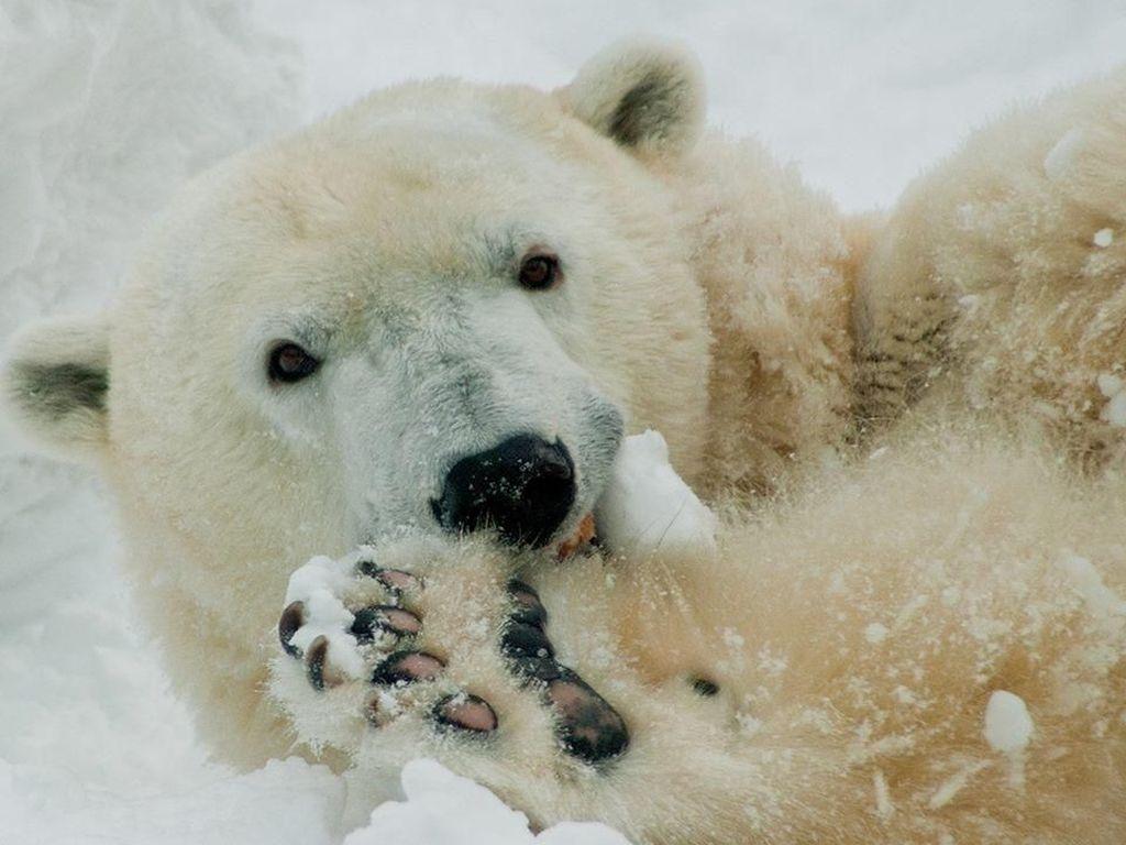 Sedih, Beruang Kutub di AS Disuntik Mati di Usia 37 Tahun