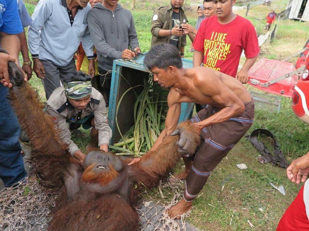 Foto: Orangutan yang Nyasar ke Kebun Warga di Kalteng Dievakuasi