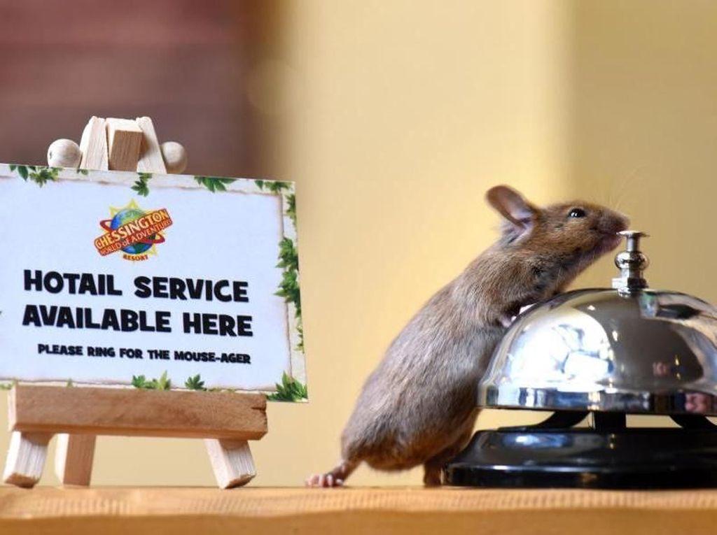 Bukan Film Kartun, Tikus Ini Sungguhan Kerja di Hotel Sambut Tamu