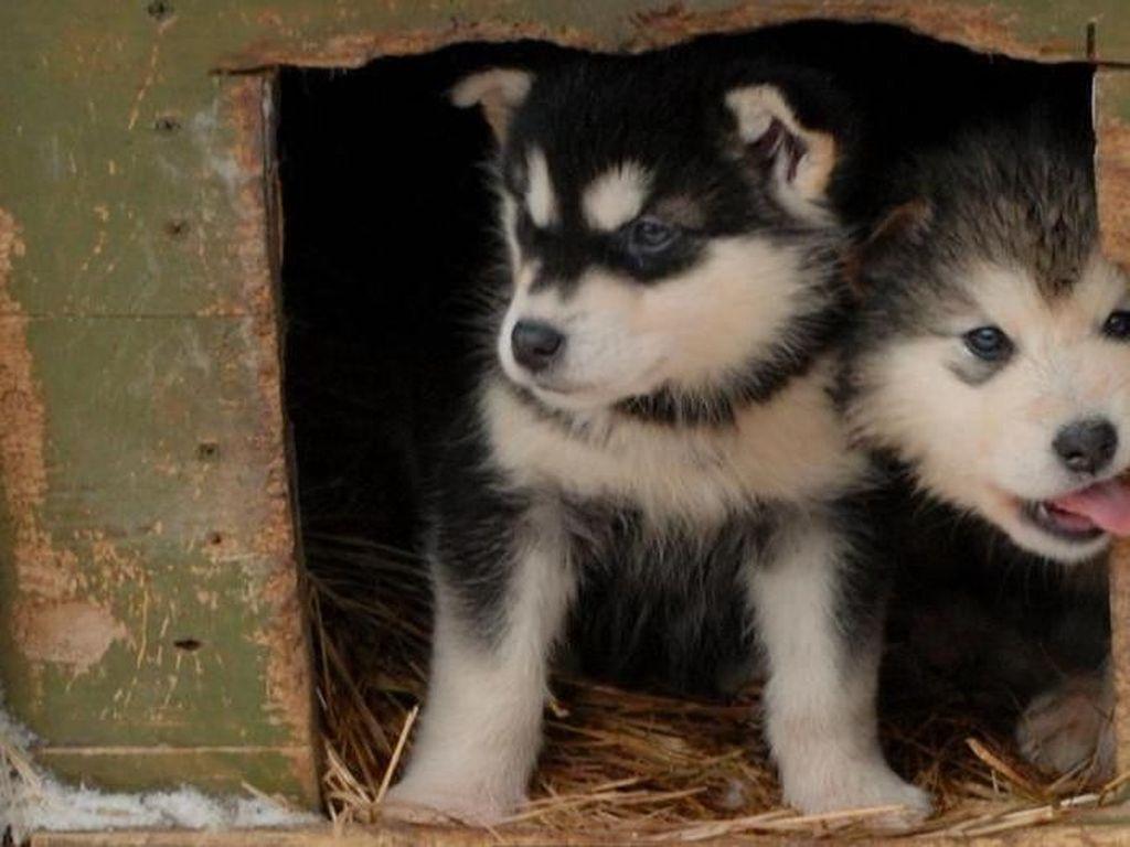 Foto: Anjing-anjing Lucu Penjelajah Salju di Kanada