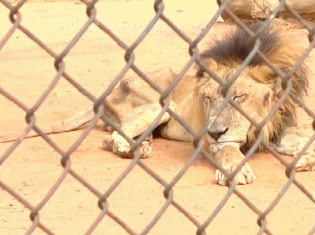 Duh! Hewan di Kebun Binatang Venezuela Saling Makan karena Kelaparan