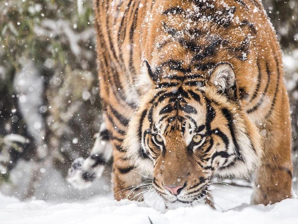 Harimau Liar Tertangkap Kamera 2 Kali Melahirkan di Riau