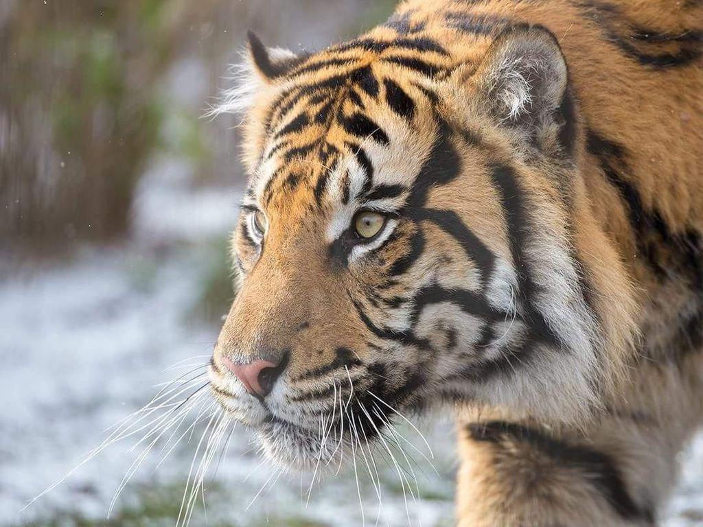 Detik-detik Warga Lahat Tewas Diterkam Harimau di Hutan Lindung