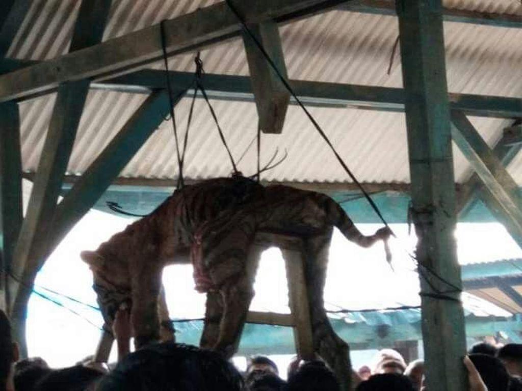 Hari-hari Terakhir Harimau Sumatera Sebelum Digantung Warga