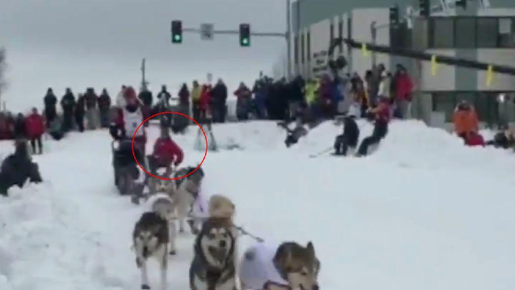 Duh! Sopir Kereta Luncur Anjing Jatuh Saat Balapan di Alaska