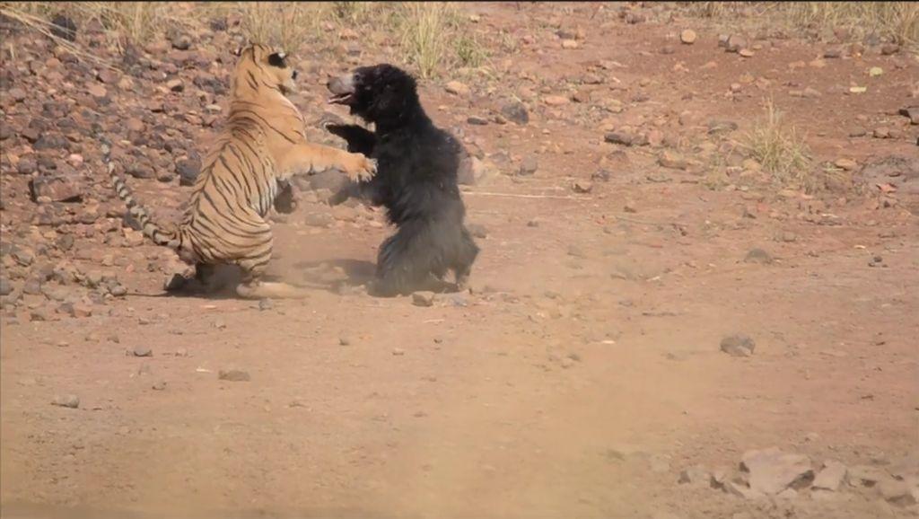 Foto: Sengitnya Pertarungan Induk Beruang dan Harimau Benggala