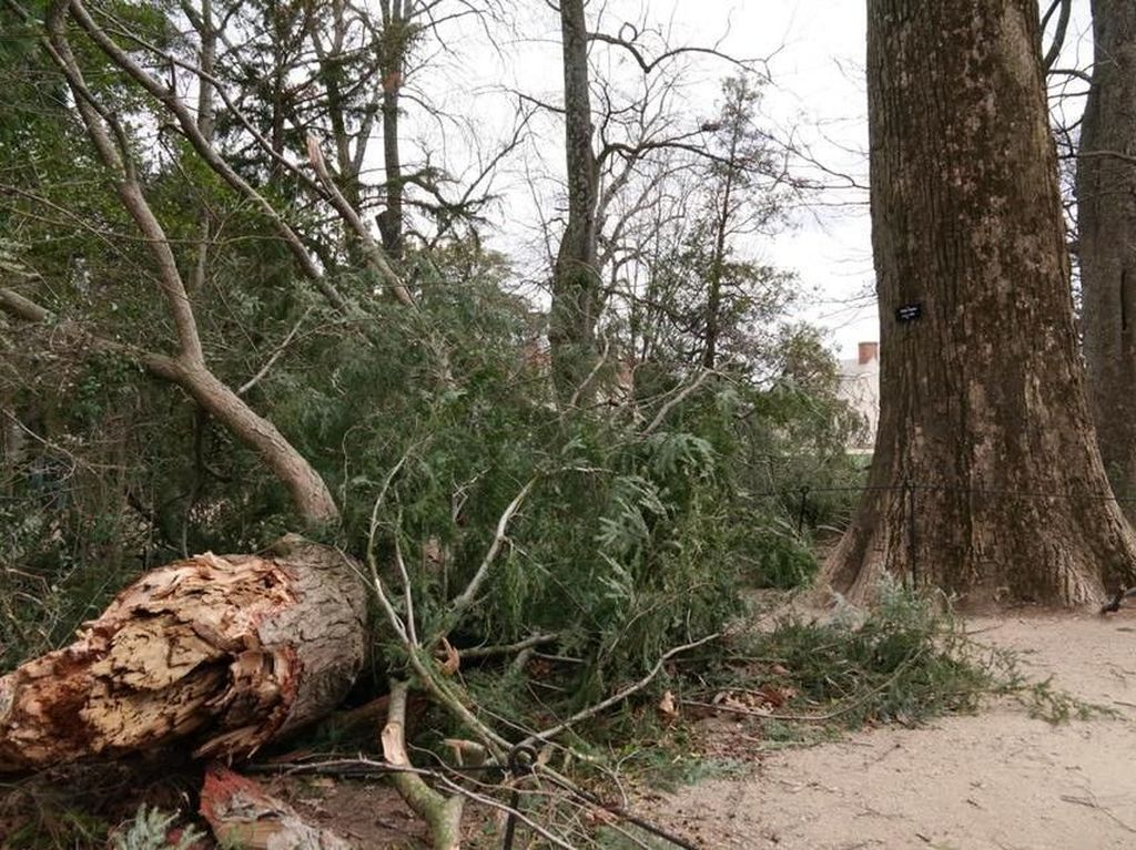 Pohon Berusia 227 Tahun yang Ditanam Presiden Pertama AS, Tumbang