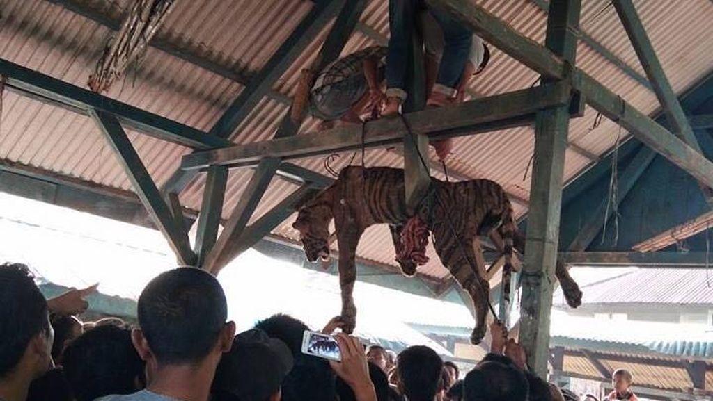 Foto: Menyedihkannya Harimau Sumatera yang Digantung Ramai-ramai