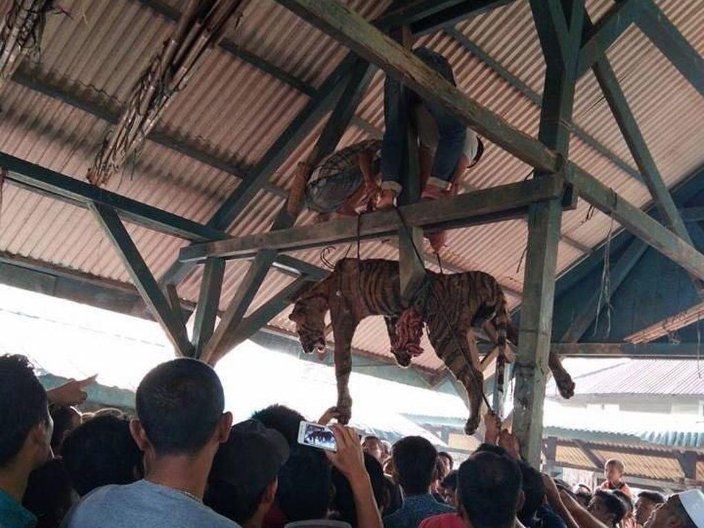 Usai Digantung, Harimau Sumatera Dikuliti Warga