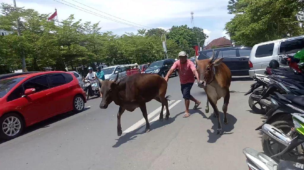 Hendak Dipotong, 2 Sapi Loncat dan Mengamuk di Jalanan Makassar