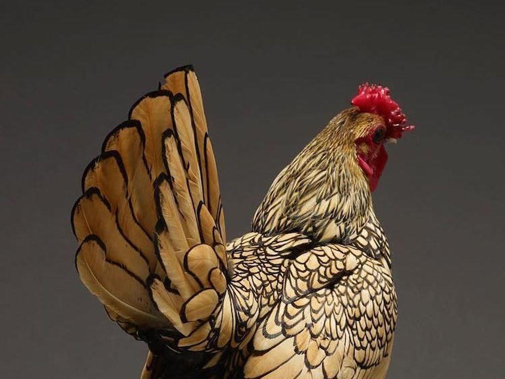 Potret Ayam Tercantik dari Seluruh Penjuru Dunia