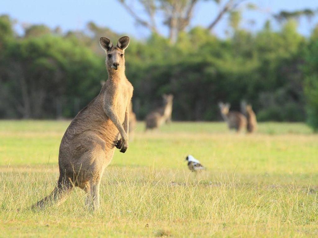 Mabuk Saat Tahun Baru, Tau-taunya Mengadopsi Kanguru
