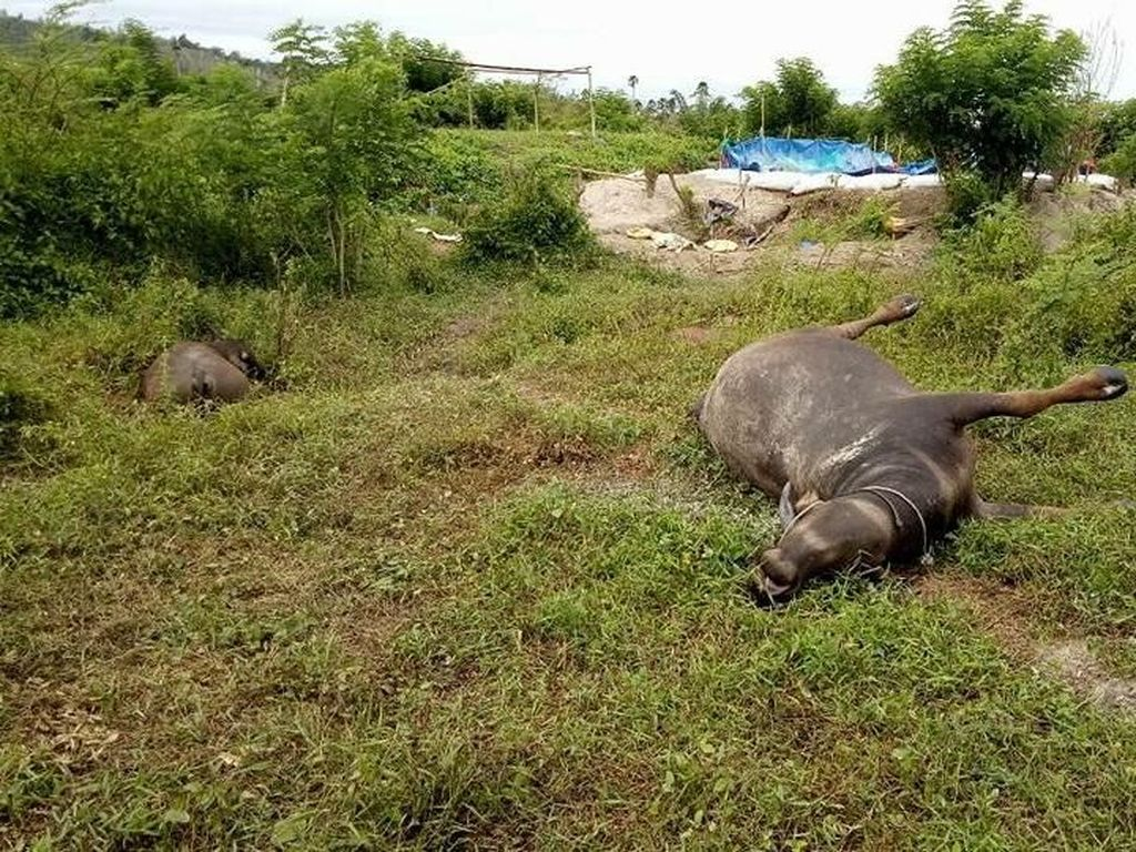 3 Kerbau Mati di Pulau Buru, Diduga Minum Limbah Penambangan Emas