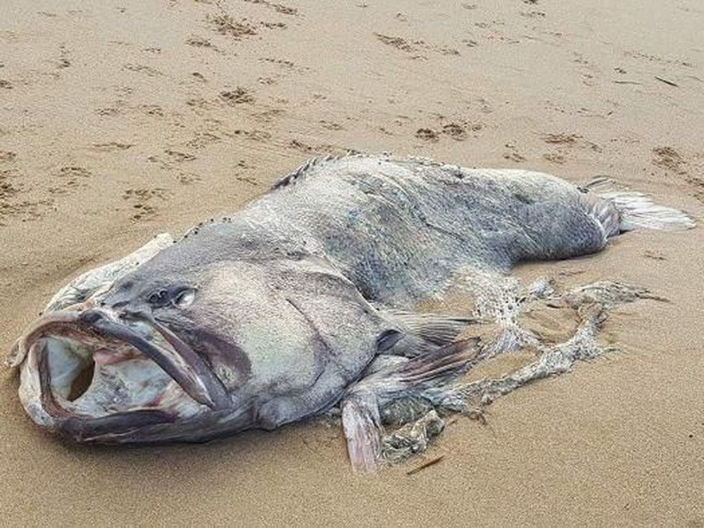 Penampakan Ikan Kerapu Raksasa Misterius di Pantai Queensland