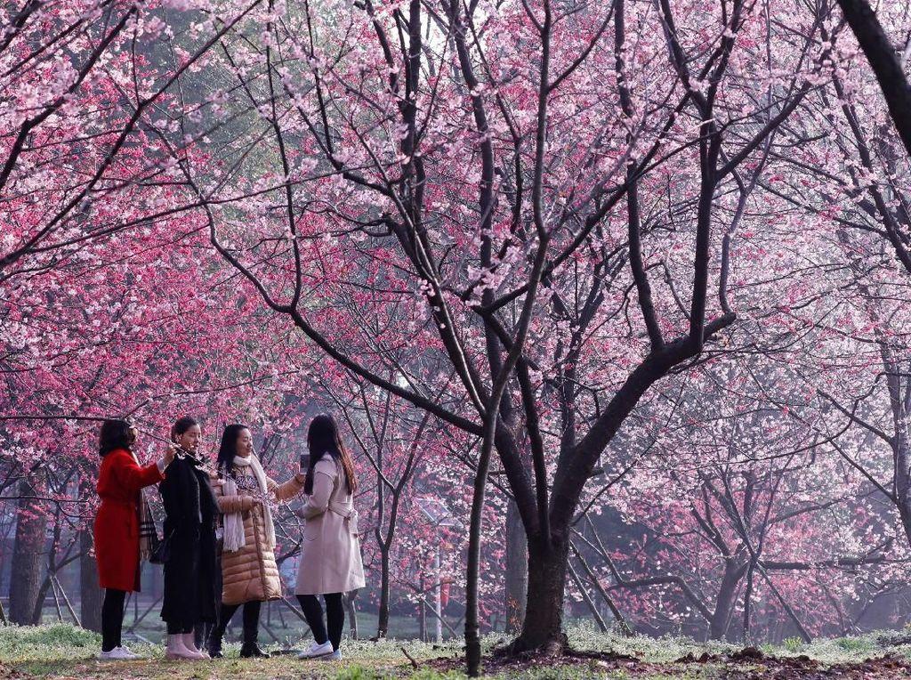 Cantiknya Sakura Bermekaran di China