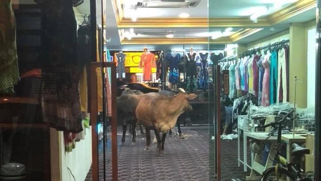 Foto: Sapi-sapi yang Mendadak Nyelonong Masuk Toko Baju