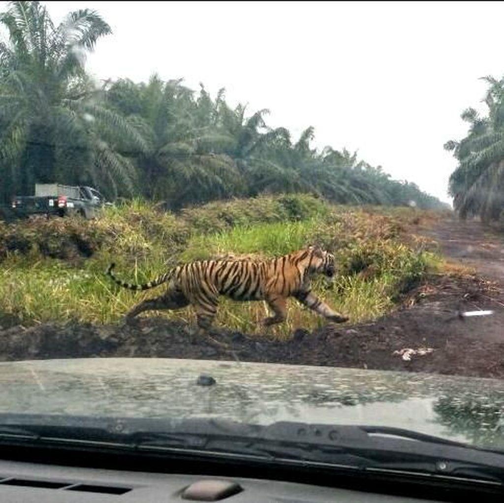 Harimau Bonita Menghilang dari Perkebunan Sawit