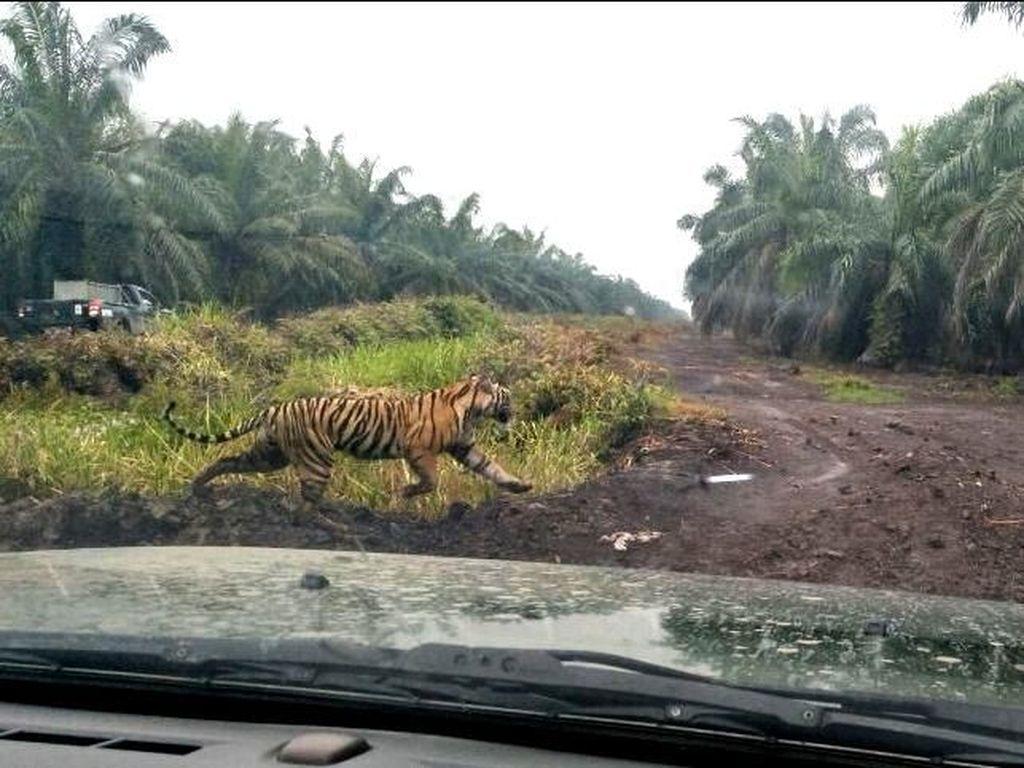 Harimau Bonita Masih di Kebun Sawit, Dikepung 54 Orang