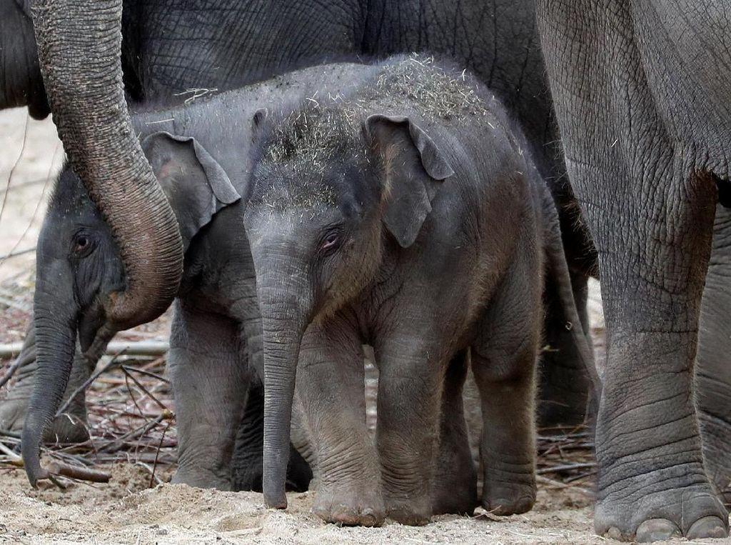Kenalkan! Tun Kai dan Suki, Bayi Gajah yang Baru Lahir di Belgia