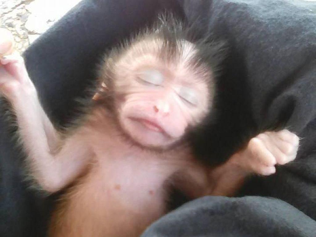 Viral! Wanita Ini Bantu Lahiran Monyet yang Sudah Mati dengan Cara Caesar