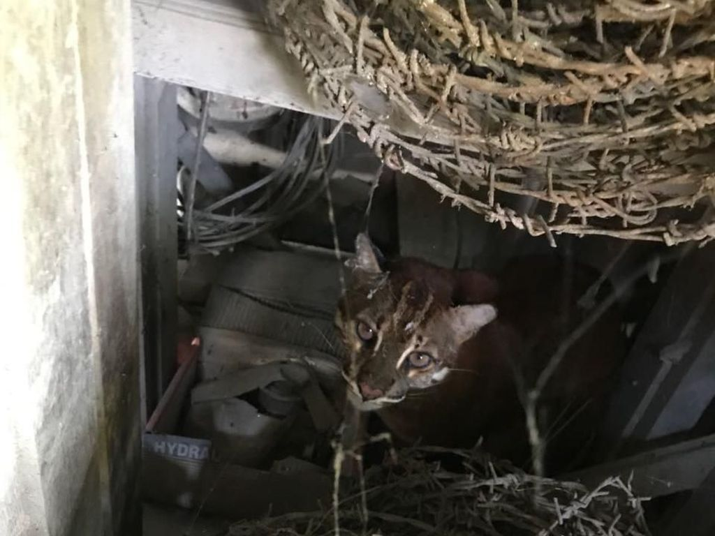 Terekam Kamera di Sumsel, Kucing Emas Misterius Kini Terancam Punah