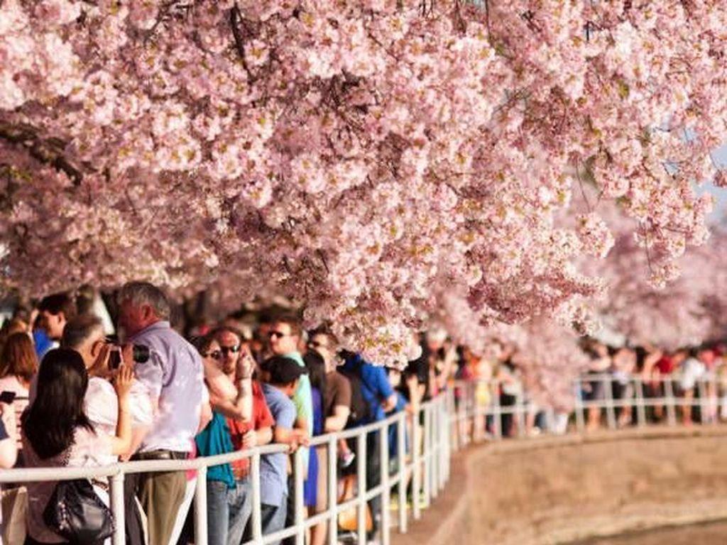 Foto: Bunga Sakura Mekar di Amerika, Ini Wujudnya