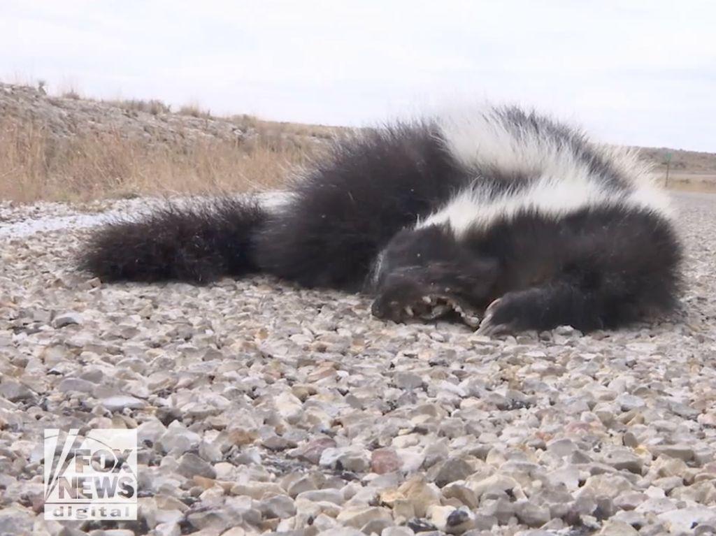 Foto: Invasi Sigung dan Ular Derik Ancam Warga New Mexico