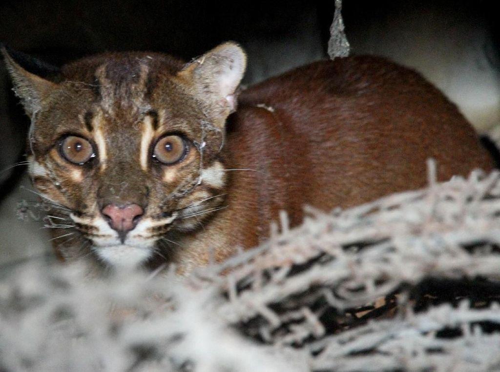 Penampakan Kucing Emas yang Misterius dan Sempat Dikira Harimau