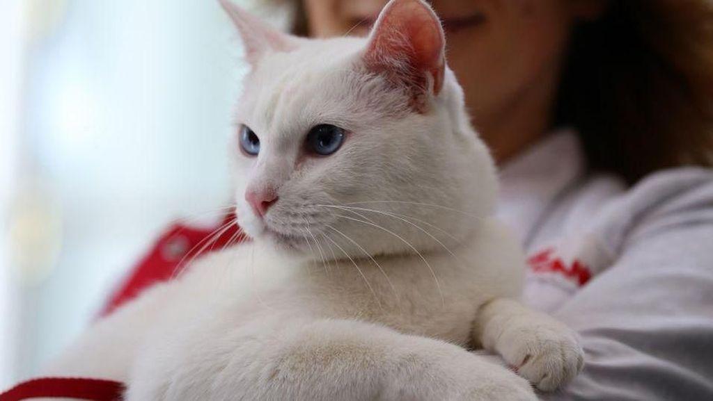 Ini Achilles, Kucing Tuli yang Jadi Peramal Piala Dunia 2018