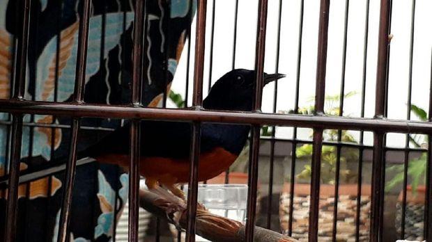 Kitaro, burung murai batu yang bikin Jokowi jatuh hati.