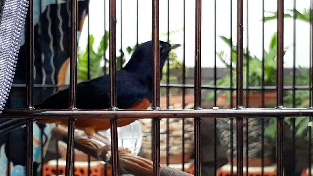 Potret Burung Kitaro yang Bikin Tawaran Rp 600 Juta Jokowi Ditolak