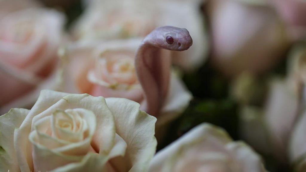 Penampakan Ular Kobra Diantara Bunga yang Bisa Bikin Kamu Terkecoh