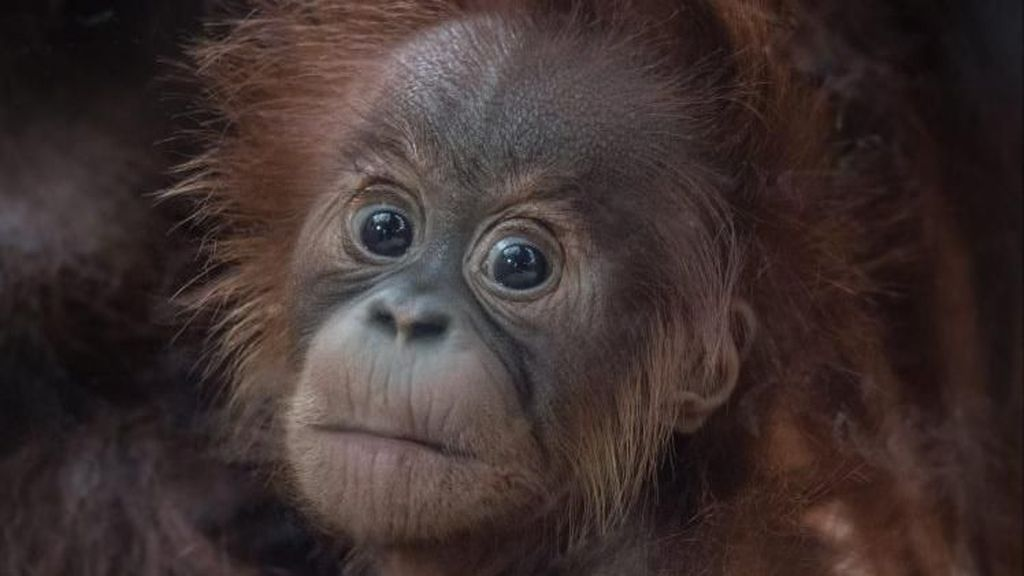 Ini Kesuma, Bayi Orangutan Sumatera Langka yang Lahir di Inggris