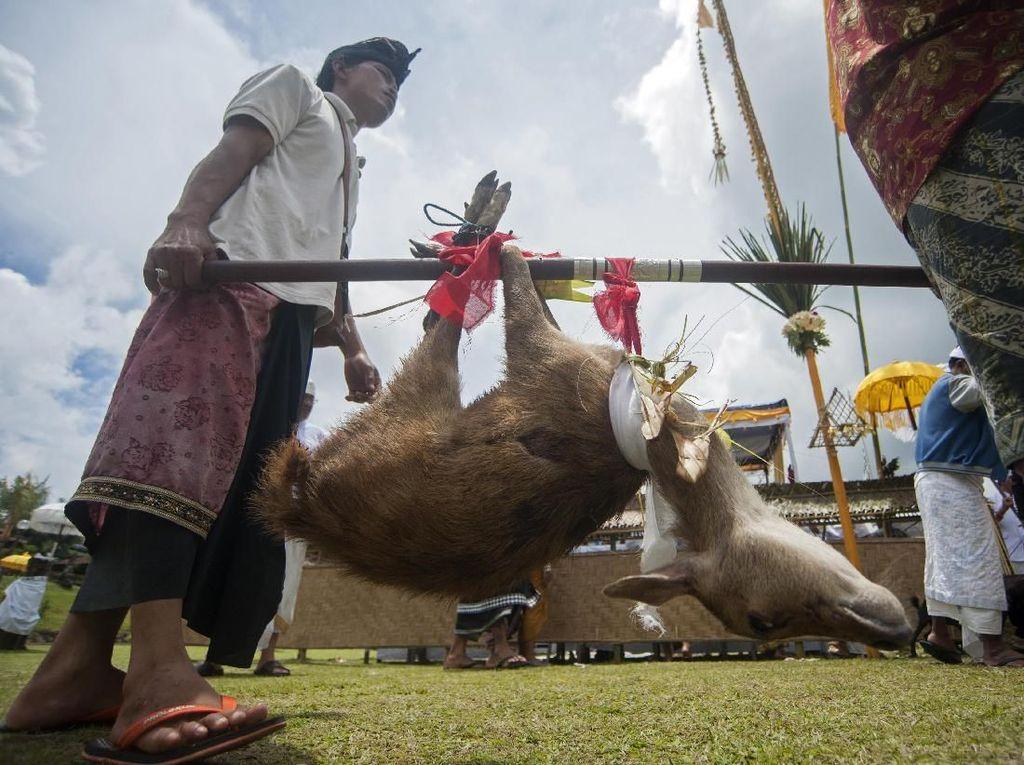 Foto: Umat Hindu Bali Kurbankan Rusa Jelang Hari Raya Nyepi