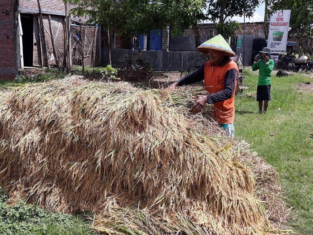 Bulog Targetkan Serap Gabah Petani 75.469 ton di DIY