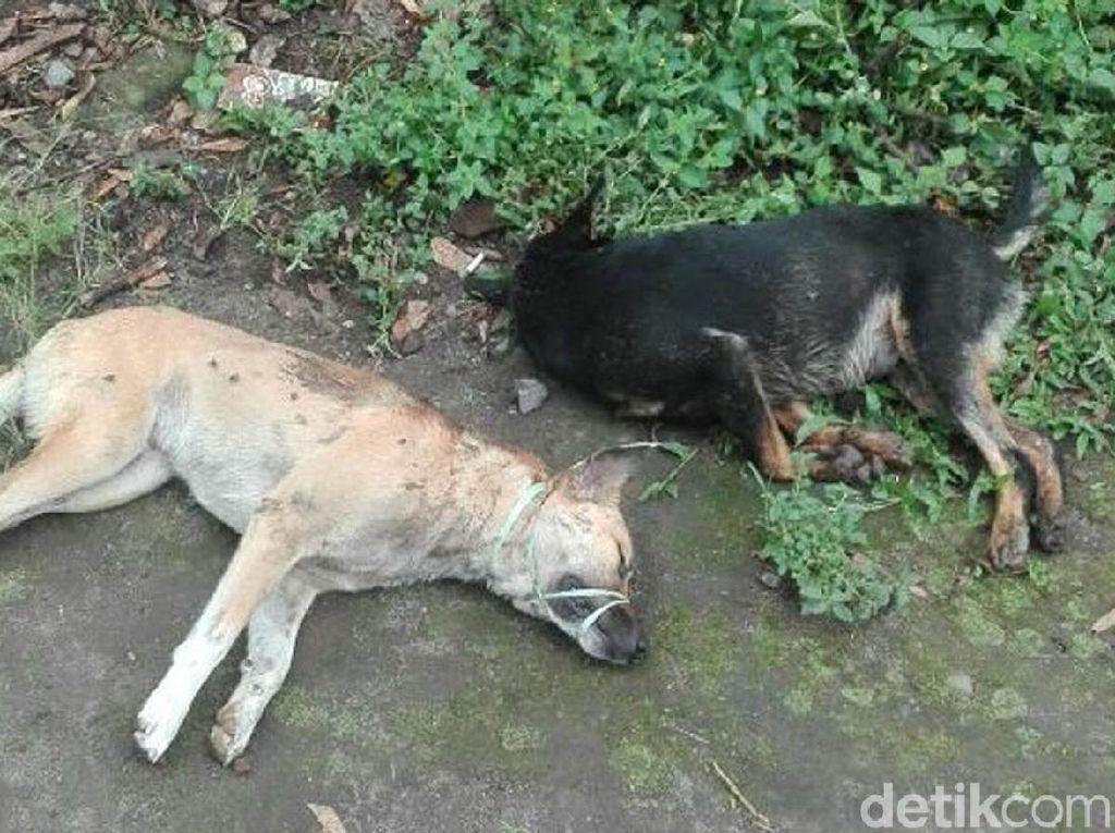 Geger di Klaten, Anjing Diracun dan Bangkainya Dibawa Kabur 2 Pria
