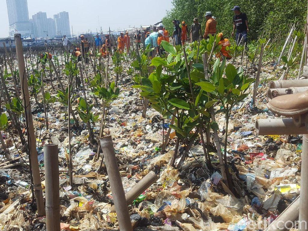 Foto: Deretan Mangrove Ditanam di Atas Tumpukan Sampah