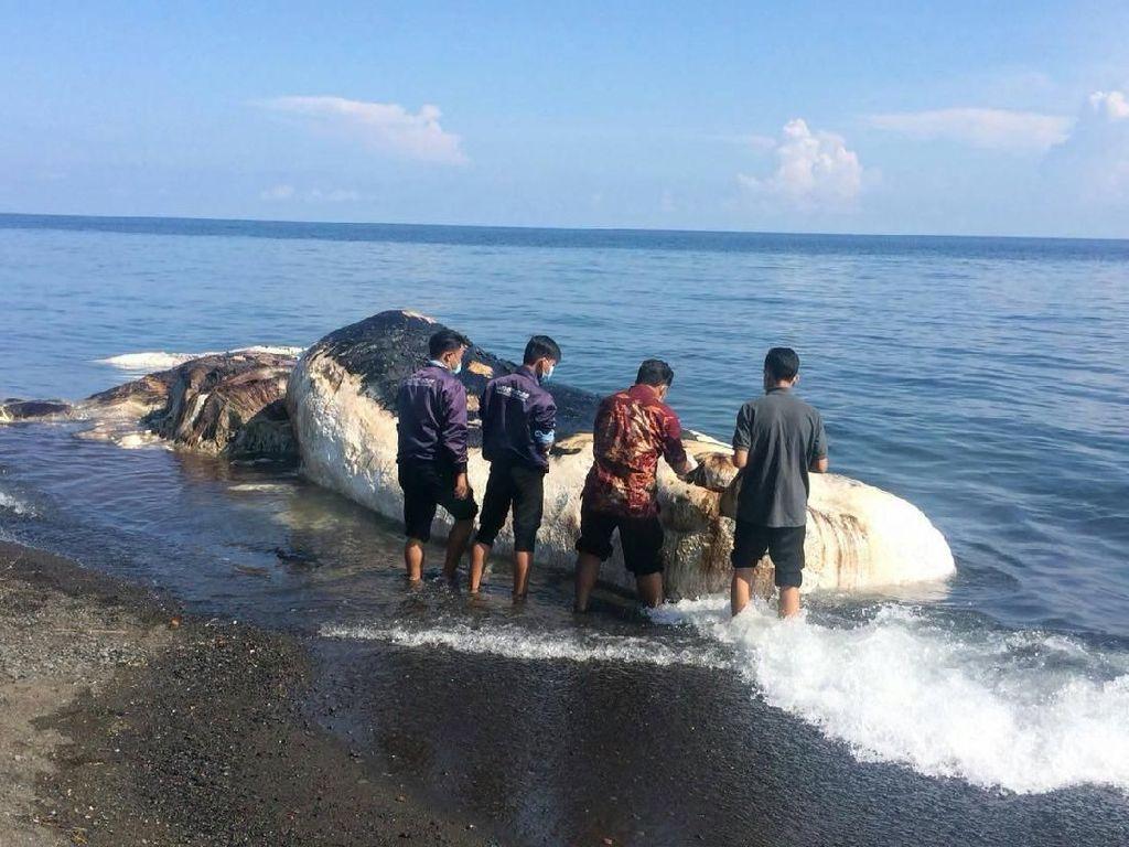 Paus Sperma yang Terdampar di Pantai Buleleng Bali Berbobot 10 Ton