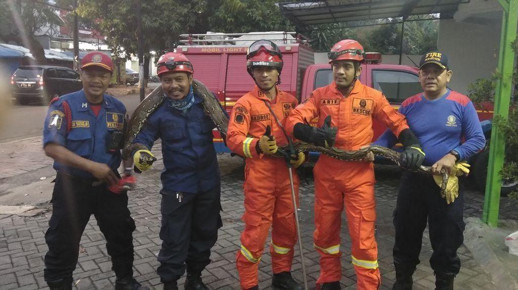 Detik-detik Ular Sanca 4 Meter Ditangkap di RM Padang