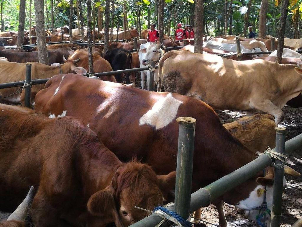 Kebutuhan Daging Sapi Puasa dan Lebaran Diprediksi 119.000 Ton