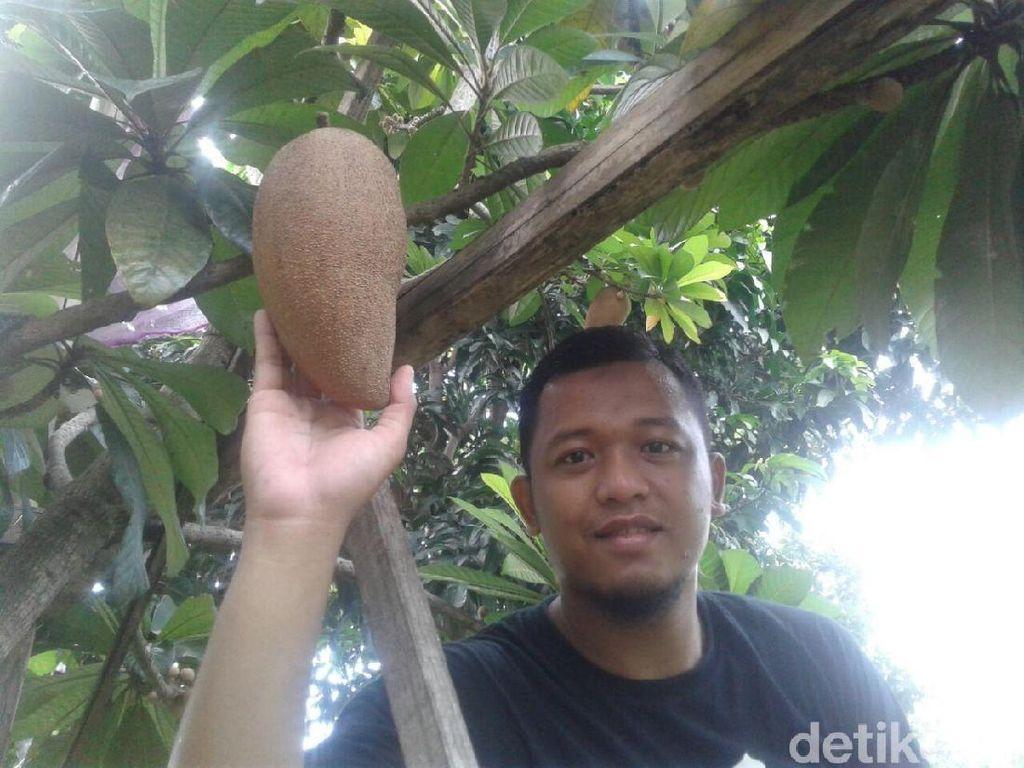 Ini Tips Merawat Pohon Sawo Raksasa Ala Warga Ponorogo