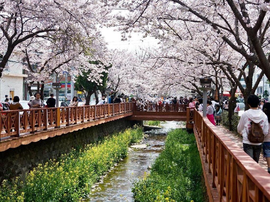 Mau Lihat Sakura di Korea, Ini Waktu Mekarnya