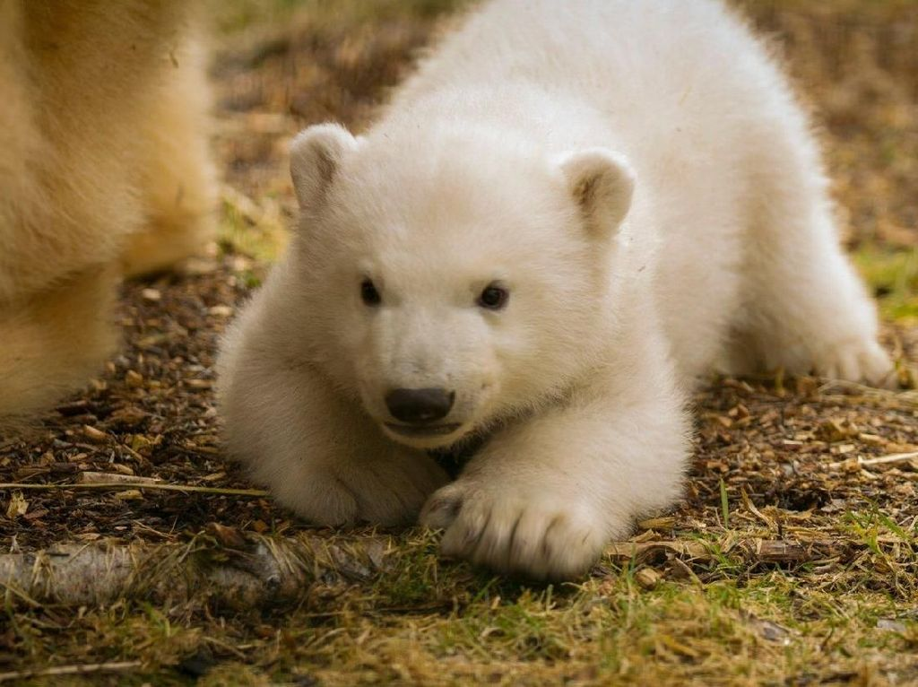 Bayi Beruang Kutub di Skotlandia Pertama Kali Dipamerkan ke Publik