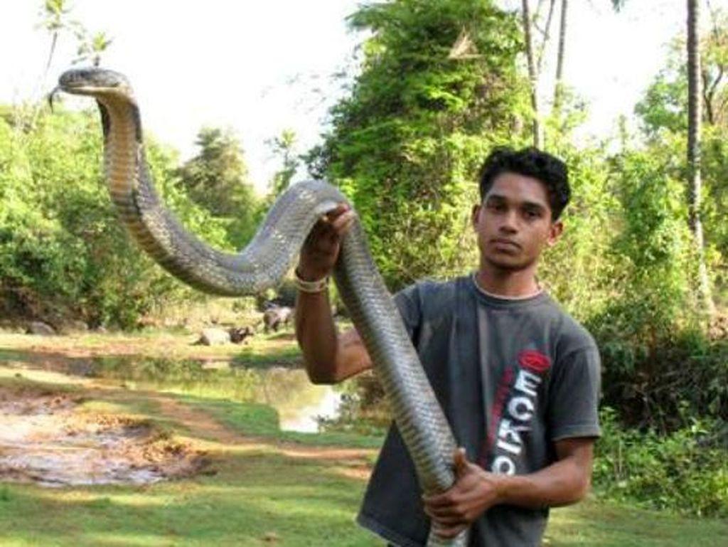 Foto: Penemuan Ular King Cobra Raksasa dari Penjuru Dunia