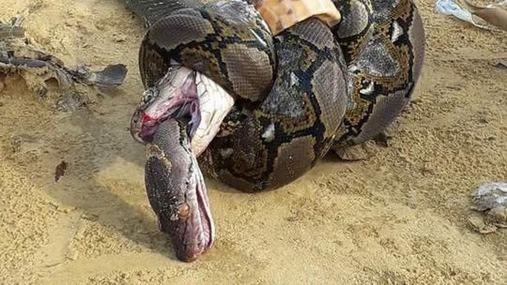 Foto: Sengitnya Pertarungan Ular King Cobra Mangsa Piton