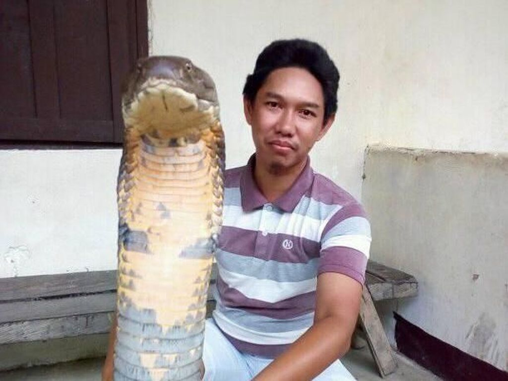 Cerita di Balik Gaya Santai Pria yang Pegang King Cobra Raksasa