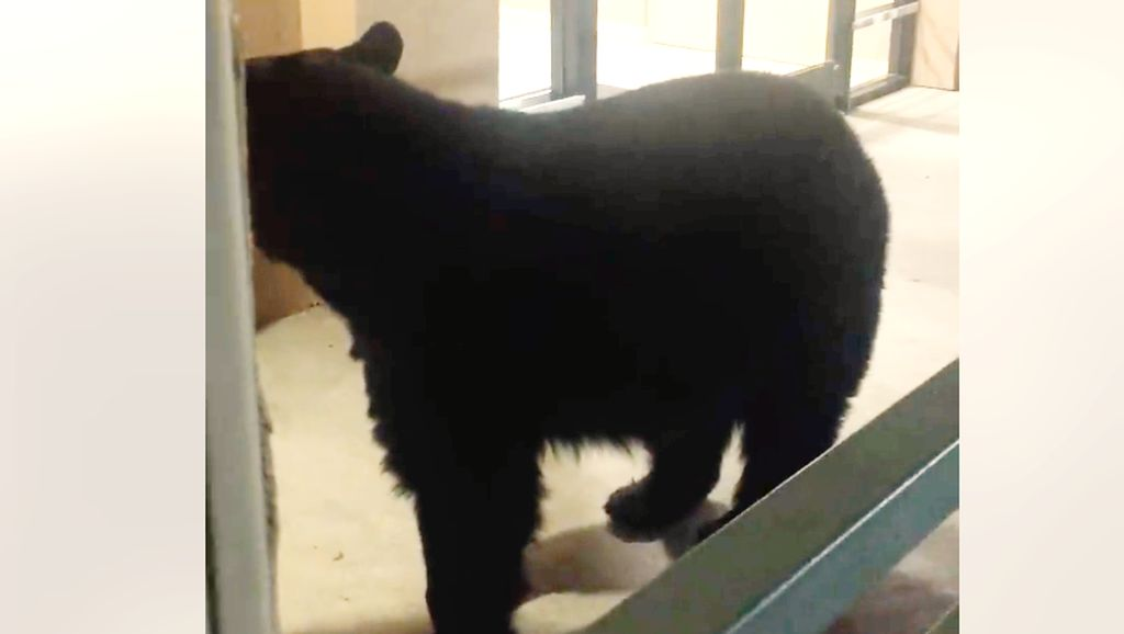 Foto: Beruang Datangi Hotel di AS, Pulang-pulang Bawa Bungkusan
