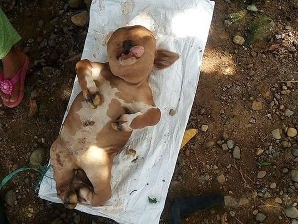 Sapi di Gorontalo yang Mirip Manusia Akhirnya Dikubur