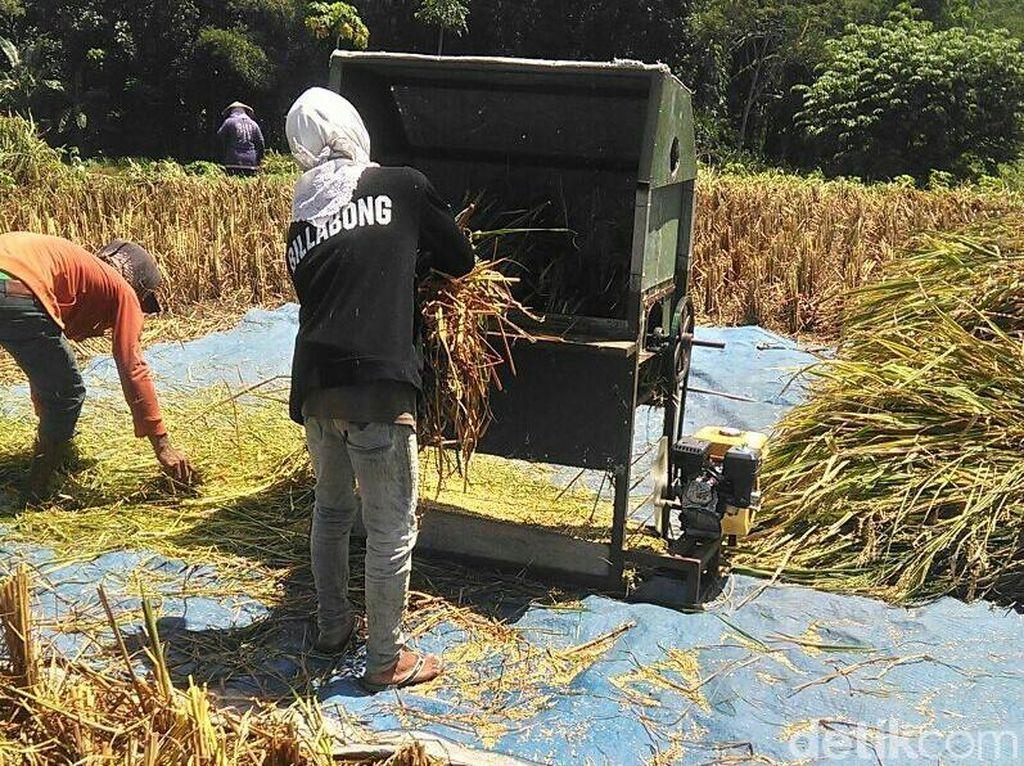 Tentang Padi Raksasa di Blitar dan Petani Indonesia Menggugat